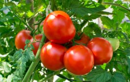 How to Sow & Grow Tomatoes at Home (in India)